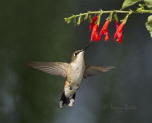 Ruby-throated Hummingbird feeding at salvia.