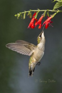 Hummer hovering below the blooms of a salvia.