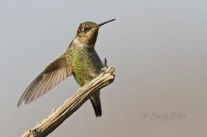 A few juvenile Anna's hummingbirds were still in the Fort Davis area some well maintained feeders.