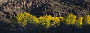 The cottonwoods were just hitting their peak of color during the first week of November.