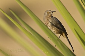 Yucca leaves added a bit of color to this shot of a curve-billed thrasher.