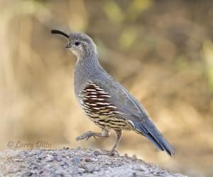 Gambel's quail at historic Fort Leaton in Presidio, Texas.