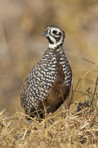 A Montezuma quail posed for this uncropped shot from the car window.
