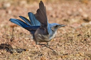 Western scrub jay jumping at the sound of a rapid-fire camera.