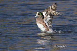 American Wigeon landing on a pond in Socorro, New Mexico.