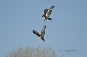 Juvenile bald eagle hovering over an adult.  They tangled momentarily in mid-air.