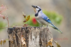 Blue jay perched on a stump.