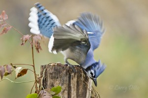 Blue Jay scolding sparrows.
