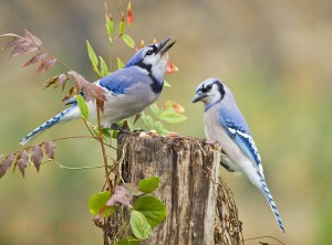 Two blue jays share a feeding stump.