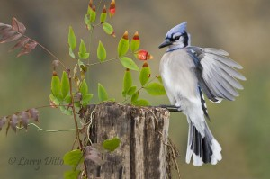 Blue Jay landing on stump.