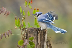 Blue jay landing on a rotting stump.