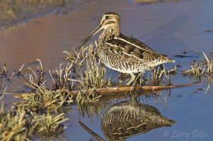 Well camouflaged Common Snipe feeding in the Bosque del Apache Refuge marsh.