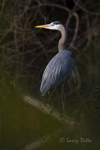 Great blue heron at Port Aransas, Texas.