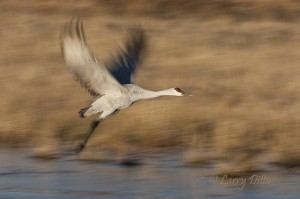 Sandhill Crane leaving the roost.
