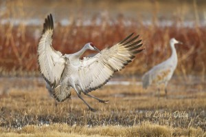 Shots of landing sandhill cranes can be dramatic.