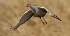 Sandhill Crane leaving the corn field.