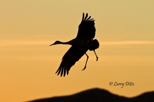 Silhouettes of cranes hang-gliding into the roost are tons of fun.