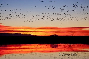 Spectacular New Mexico sunrise and snow goose blast-off.