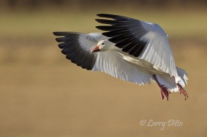 Snow goose with the flaps down for a landing.