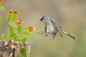 Adult white-crowned sparrow landing at feeding stump.