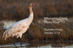Young Whooping Crane feeding in marsh at Aransas National Wildlife Refuge, Texas.