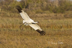 Adult whooping crane landing in marsh at Aransas National Wildlife Refuge, Texas.