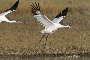 Pair of whooping cranes at take off, Aransas National Wildlife Refuge, Texas.
