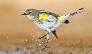Yellow-rumped warbler bathing at a ranch pond.