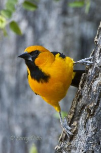 Altamira Oriole perched on the side of a Texas ebony trunk.