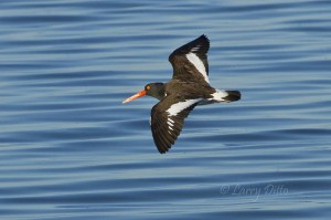 American Oystercatcher on the wing