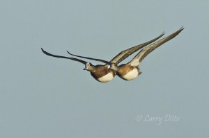 American Wigeon pair headed flying past.