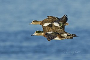Adult and juvenile American Wigeon flying at eye level to photographer.