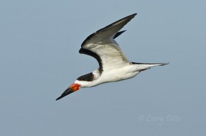 Black Skimmer with wings up.