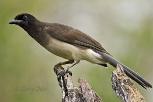 The only wild Brown Jay in the U.S.