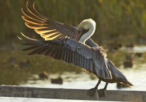 Brown Pelican shaking off water after a bath at Port Aransas.