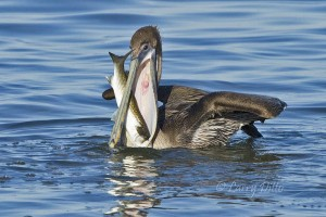 "Young Brown Pelican swallowing a mullet.  This is a ""pelican whose bill can hold more than his belly can""."