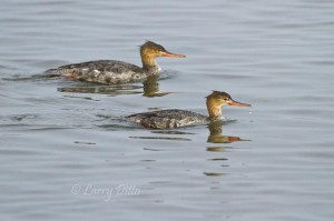 Common Merganser hens fishing in the Laguna Madre shallows.