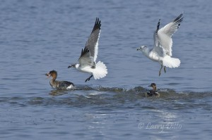 Gulls robbing fish from common merganser.