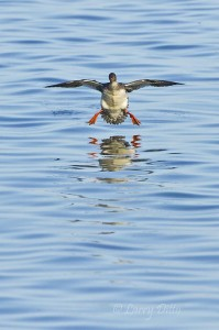 Common Merganser landing straight at the camera.