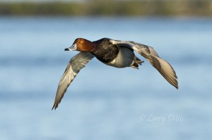 Redhead drake in flight with nice view of orange eye.