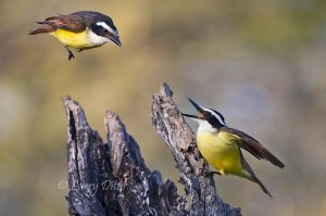 Great Kiskadee scolding another for daring to share the same perch.