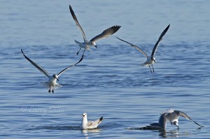 Gulls diving for fish left floating by harrassed merganser.
