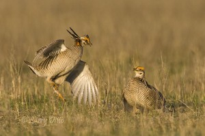 Lesser Prairie Chickens dueling on the lek.