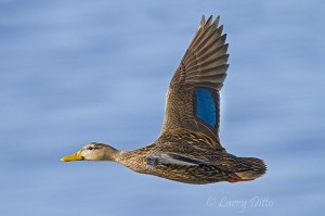 Male Mottled Duck showing blue speculum.