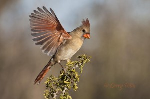 female Northern Cardinal landing on guayacan.