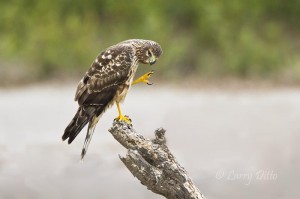 Female Northern Harrier grooming head feathers.