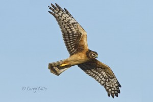 Northern Harrier at a Port Aransas marsh.