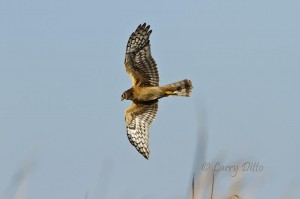 Northern Harrier cruising above the cattails at a Port Aransas marsh.