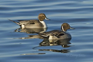 Pintail drakes reflected in the mid-morning blue of the Laguna Madre.