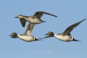 In mid to late winter, no female pintail goes anywhere without an escort.